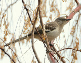 Mockingbird Northern D-010.jpg
