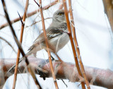 Mockingbird Northern D-012.jpg