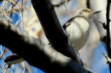 Mockingbird Northern D-013.jpg