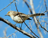 Mockingbird Northern D-016.jpg