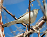 Mockingbird Northern D-023.jpg