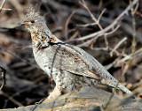 Grouse Ruffed D-025.jpg
