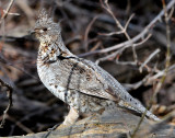 Grouse Ruffed D-026.jpg