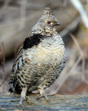 Grouse, Ruffed