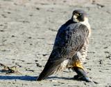 Falcon Peregrine D-008.jpg