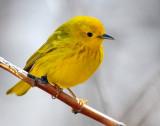 Warbler Yellow D-022.jpg