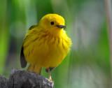 Warbler Yellow D-018.jpg