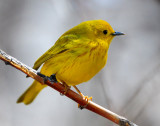 Warbler Yellow D-024.jpg