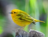 Warbler Yellow D-019.jpg