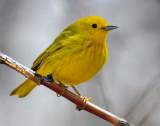 Warbler Yellow D-025.jpg
