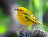 Warbler Yellow D-020.jpg