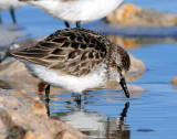 Sandpipers, Semipalmated and Western