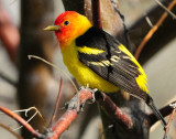 Tanager Western D-015.jpg