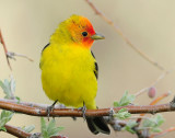 Tanager Western D-019.jpg