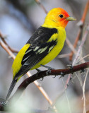 Tanager Western D-021.jpg