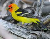Tanager Western D-024.jpg