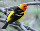 Tanager Western D-025.jpg