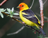 Tanager Western D-027.jpg