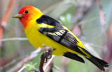 Tanager Western D-029.jpg