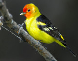 Tanager Western D-032.jpg