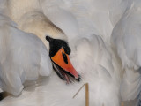 Swans and Geese, Svanar och Gäss