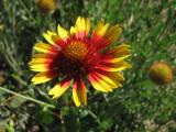Indian Blanket Wildflower