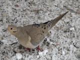 023 Mourning dove.JPG