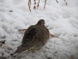 042 Mourning dove.JPG