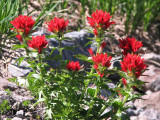 IMG_5535 Paintbrush, Castilleja sp.jpg