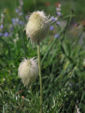 IMG_5653 Mountain pasqueflower, Anemone occidentalis.jpg