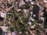 IMG_5723  Alpine willow-herb, Epilobium alpinum