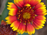 Perhaps an Indian Blanket