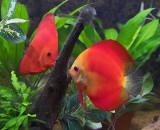 Our Discus Aquarium