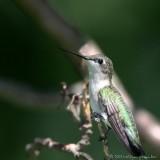 Ruby Throated Hummingbird Archilochus colubris