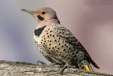 Northern Flicker Colaptes auratus cafer (Red-Shafted)
