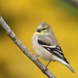 American Goldfinch Carduelis Tristis
