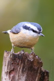 Red Breasted Nuthatch Sitta canadensis