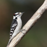 Downy Woodpecker Picoides Pubescens