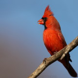 Northern Cardinal Cardinalis Cardinalis
