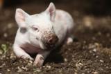 Domestic Pig(let) Sus scrofa scrofa