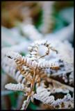 Frozen Fern