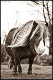 Pony Study
