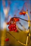 Last of the Berries