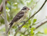 Rose-brested Grosbeak (F)