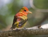 Summer Tanager (1st Spring M)