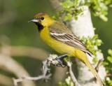 Orchard Oriole (1st Spring Male)