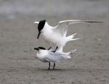 Sandwitch Tern (Mating)