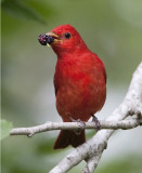 Summer Tanager (M)