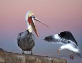 Brown Pelican & California Gull