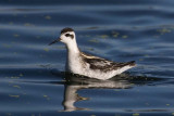 Red-necked Phalarope (Adult nonbreeding)